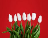 Fotografie White tulips on red background