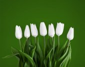 Fotografie White tulips on green background