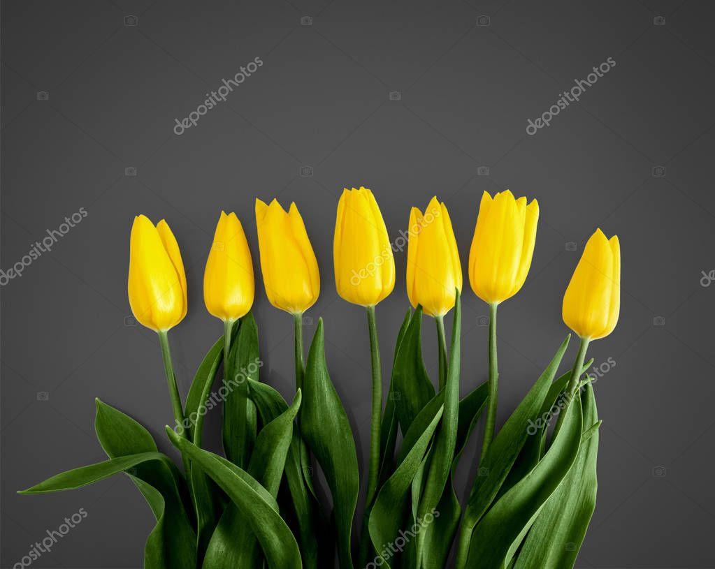 Yellow tulips on Grey background