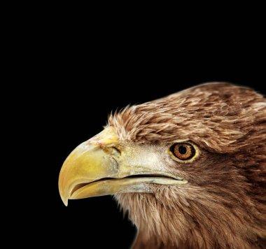 Portrait of eagle, White-tailed (Haliaeetus albicilla)