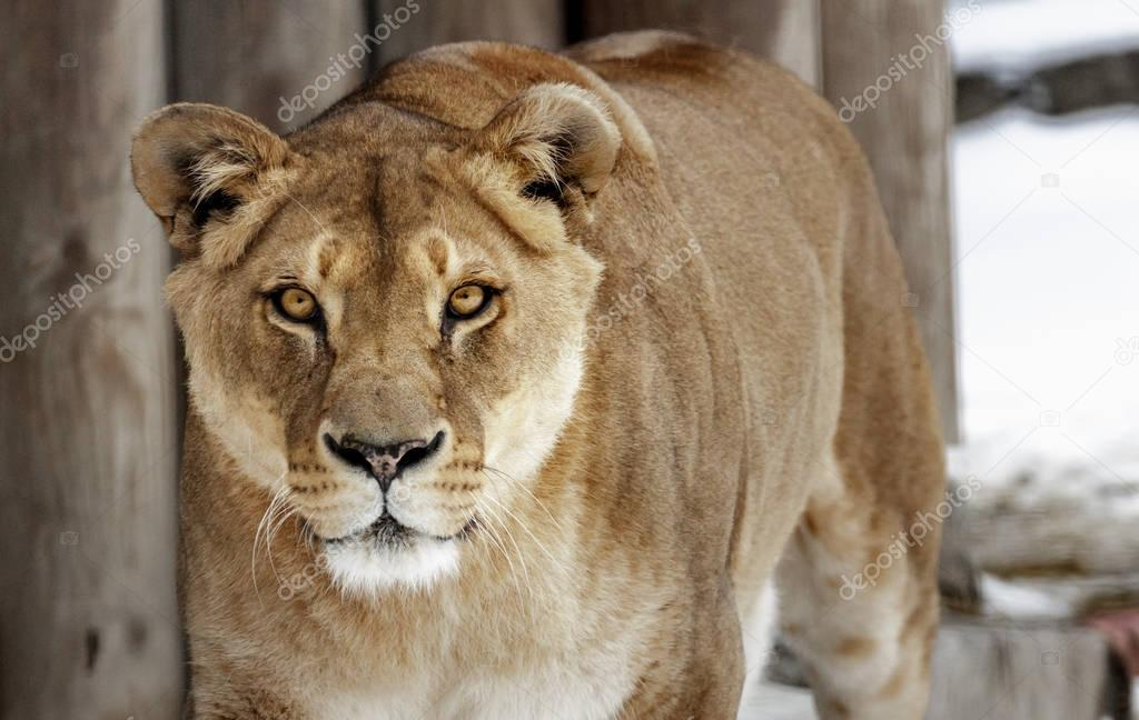 Lioness. portrait of a wild cat