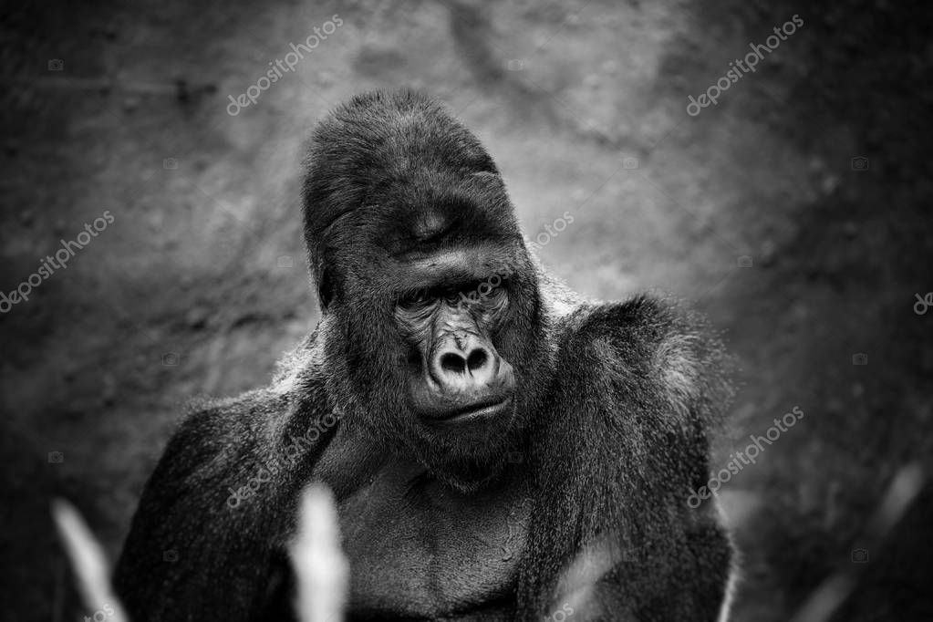 Portrait of a gorilla male, severe silverback