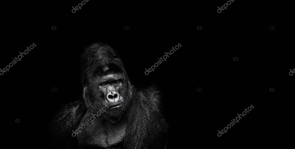 Portrait of a male gorilla on black background