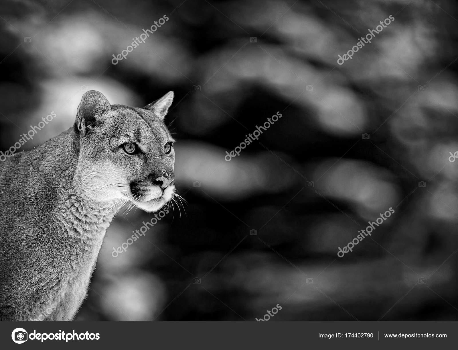 Porträt von einem Cougar, Puma, puma — Stockfoto