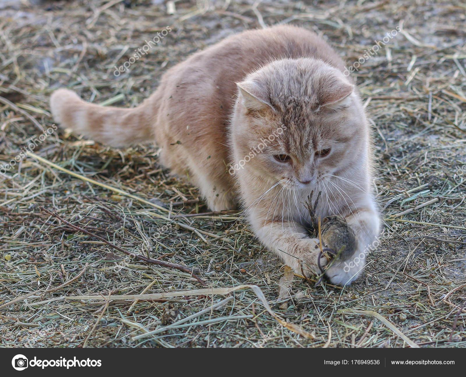 die katze jagt die maus stockfoto ibraman3012 176949536