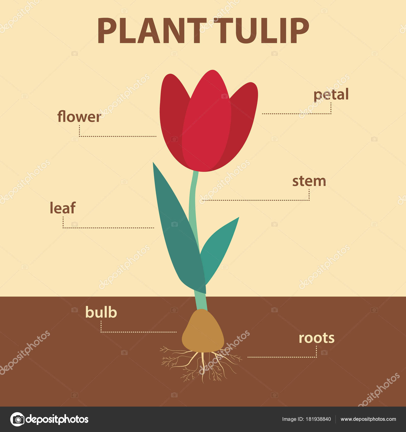 vector diagram showing parts of tulip whole plant. Black Bedroom Furniture Sets. Home Design Ideas