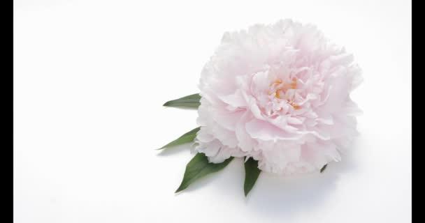 Rózsaszín bazsarózsa fehér alapon