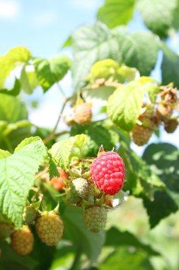 raspberries on branches in garden