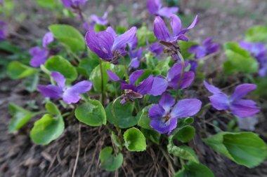 Close up of viola flowers growing in soil