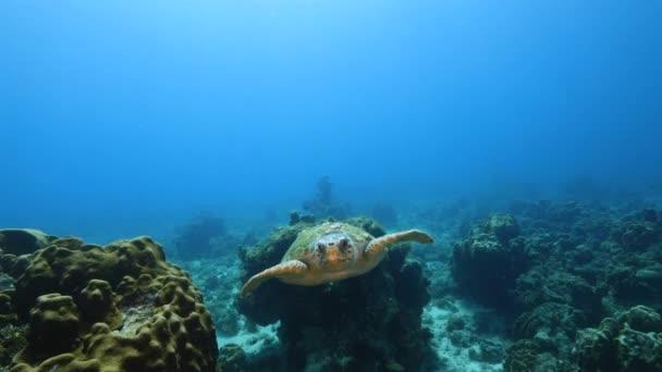 Loggerhead Sea Turtle in turquoise water of coral reef in Caribbean Sea / Curacao