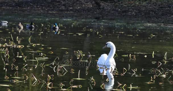 4 k Ultrahd labuť, Cygnus olor, krmení s kachny divoké
