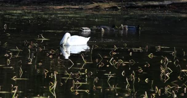 4 k Ultrahd labuť, Cygnus olor, krmení na rybníku