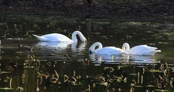 4 k Ultrahd trubač labutí, Cygnus buccinator s Mute Swan, Cygnus olor