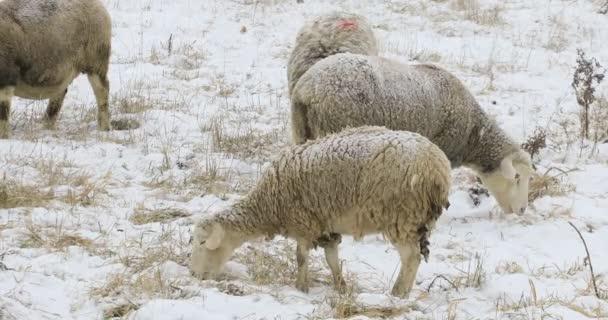4k ultrahd Schafe im Feld im Schnee