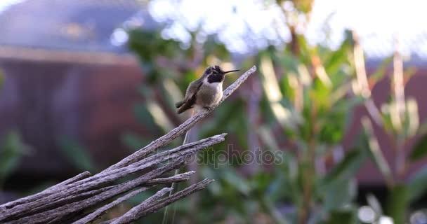 4 k Ultrahd posazený černou bradou Hummingbird, Archilochovi alexandri