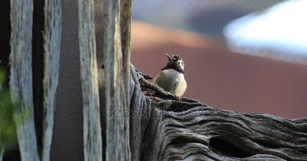 4 k Ultrahd relaxační černou bradou Hummingbird, Archilochovi alexandri