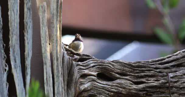 4 k Ultrahd odpočívá černou bradou Hummingbird, Archilochovi alexandri