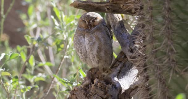 4K UltraHD Elf Owl, Micrathene whitneyi