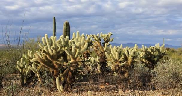 4k Ultrahd pohled z kaktusu Cholla skupiny v Tucsonu Mountain Park