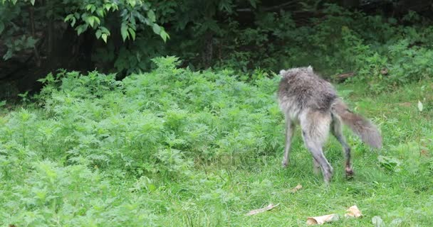 4K UltraHD Grey Wolf, Canis lupus, walking