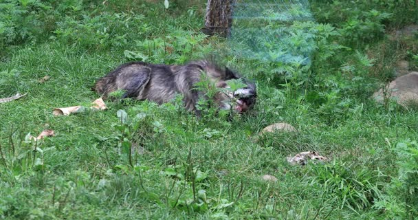 4K UltraHD Dark Grey Wolf, Canis lupus, gnawing on a bone