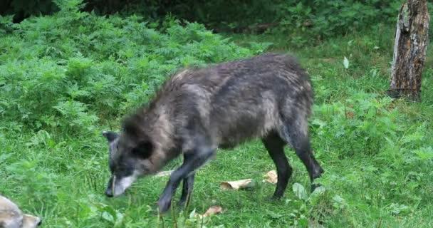 4K UltraHD Dark Grey Wolf, Canis lupus