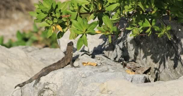 Juvenilní zelený leguán, Iguana iguana, bloumali slunci 4k