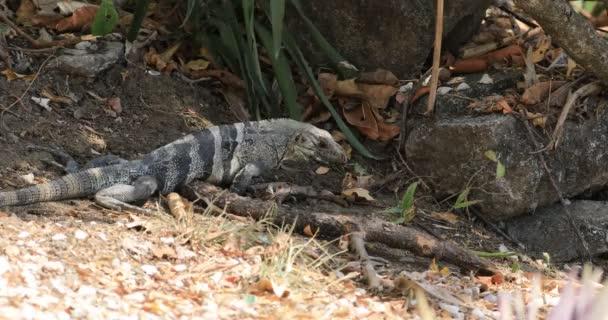 Velký zelený leguán Iguana iguana, v Kostarice 4k