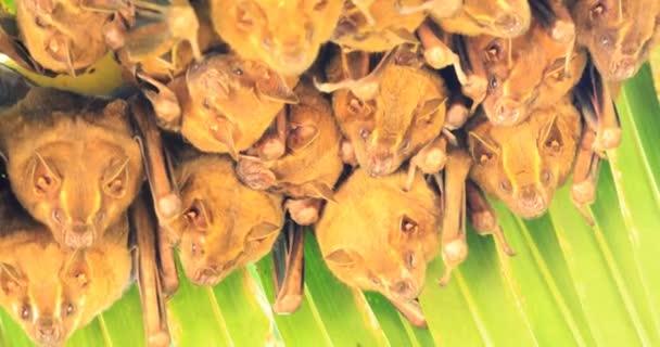 Stan výroba netopýrů, Uroderma bilobatum, hřadování pod velkým listem 4k