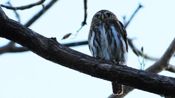Zavřít pohled železitých Pygmy Owl, Glaucidium brasilianum