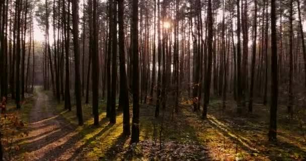 4k. dron proletí borovým lesem. Letecký letoun klouzavý výstřel. Klidný bezpilotní let mezi majestátními borovicemi zbarvenými západem slunce. Létání smrkovým lesem borovic.