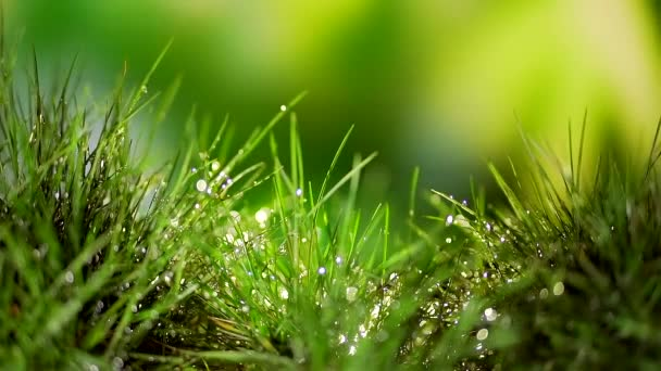 close. grassy meadow after rain. drops of dew on the leaves of grass glow and shimmer, glistening in the sun. growth of young grass. lawn. abstract background for text. drops of water on the leaves.