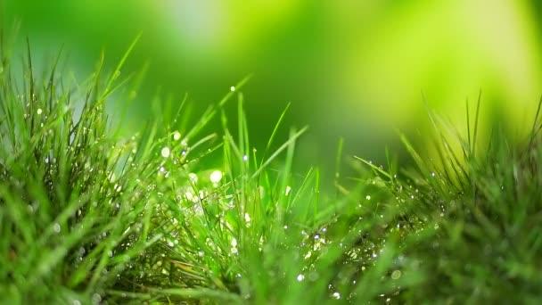 Közel volt. füves rét eső után. harmatcseppek a fű levelein ragyognak és csillognak, ragyognak a napon. fiatal fű termesztése. Füvet. elvont háttér szöveg. vízcseppek a levelekre.