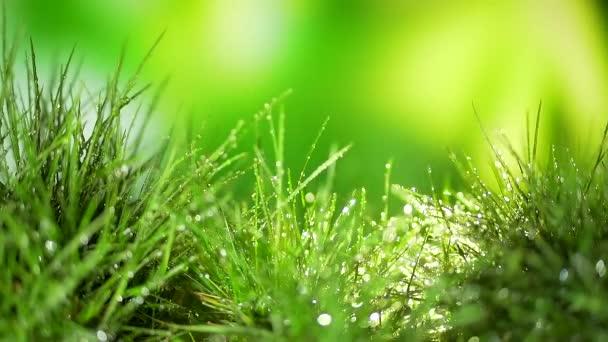 Frühjahrsregen fällt auf junges grünes Gras. Wassertropfen fallen auf kahle Pflanzen. schließen. Bokeh und verschwommener Hintergrund. Tropfen scheinen auf die Sonnenstrahlen. Rasenwässern. Wachstum