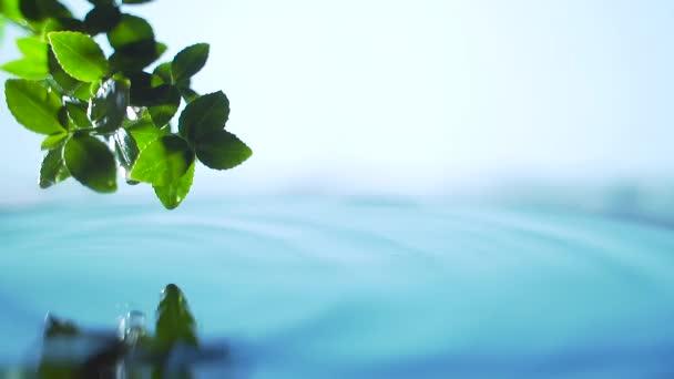 Közelről. friss zöld levél vízcseppekkel a víz felett, természet levél ág jelenet a kikapcsolódáshoz vízhullám csepp koncepció, lassított felvétel. Zöld háttér. A szöveg másolási helye