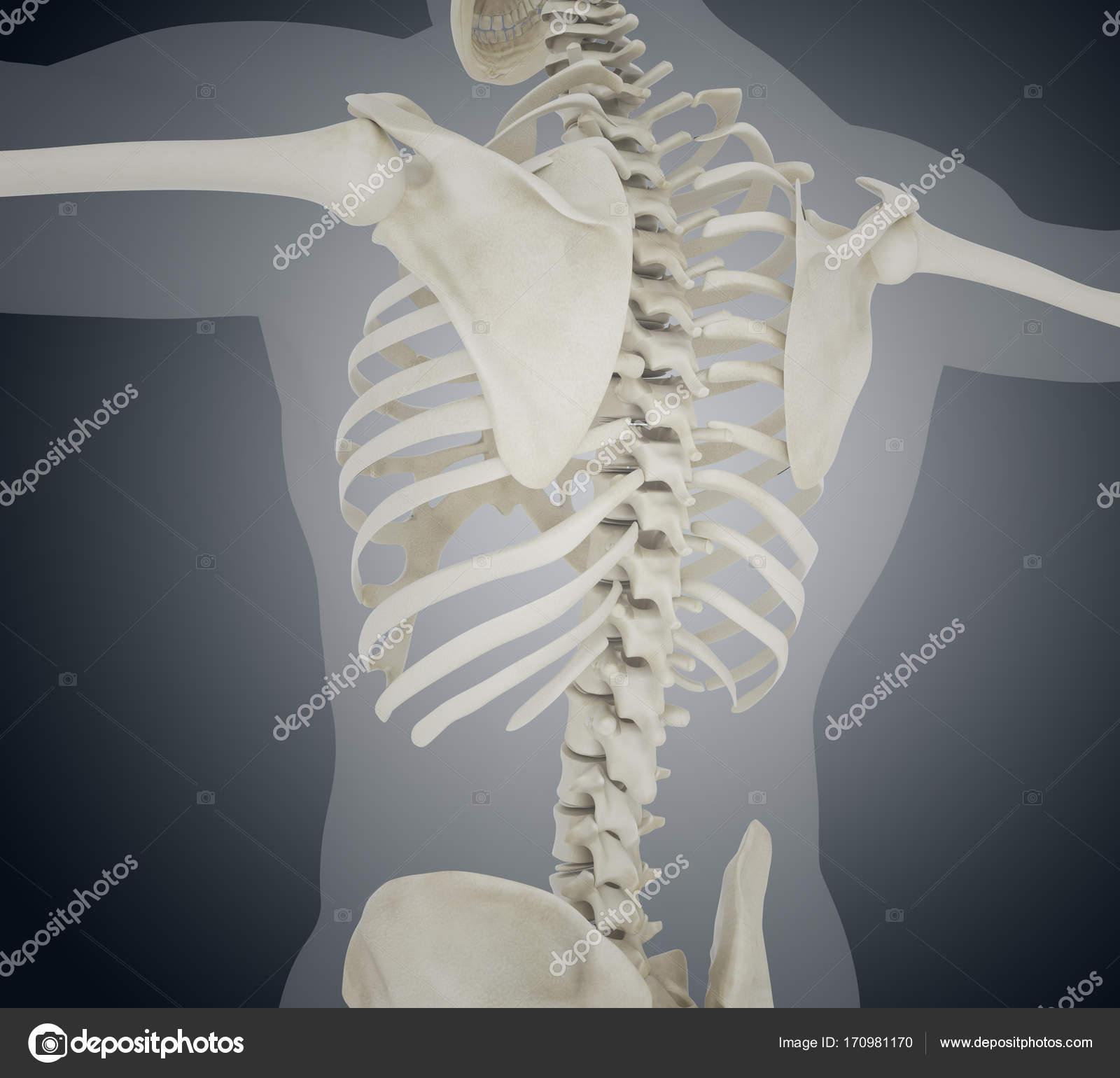 Ilustración 3D del esqueleto humano de nuevo — Foto de stock ...