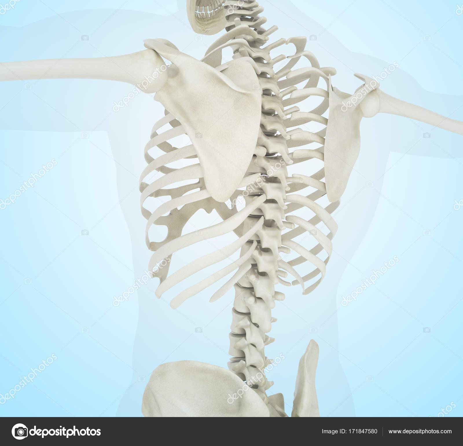 3d Illustration Of Human Skeleton Back Stock Photo Nicomenijes