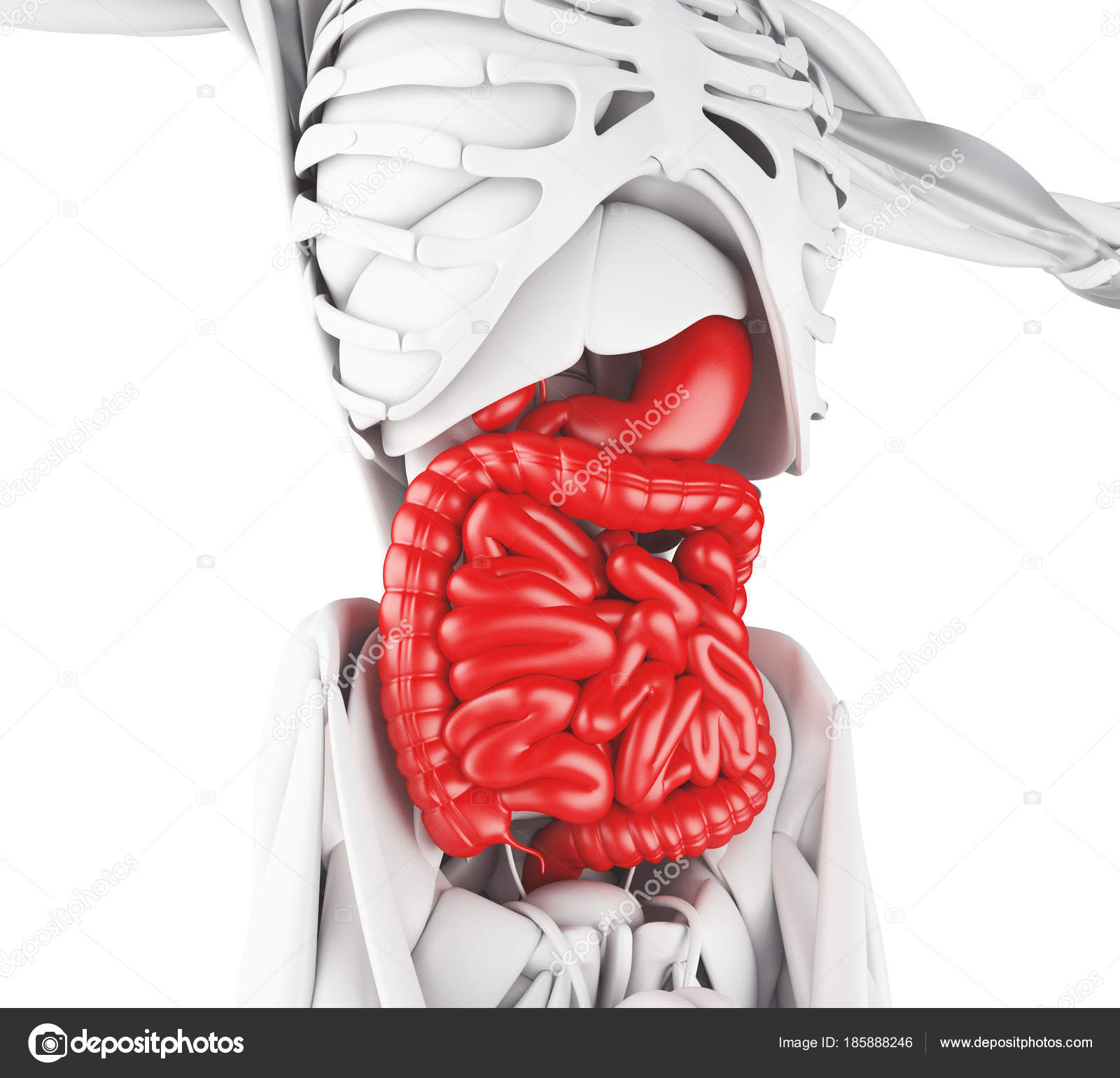 Ilustración 3D del sistema digestivo — Fotos de Stock © nicomenijes ...