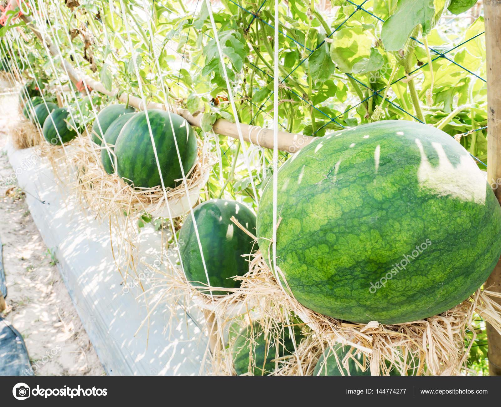 Außergewöhnlich Wassermelone Obst Gemüse Biobauernhof — Stockfoto © nungning20 &DQ_02