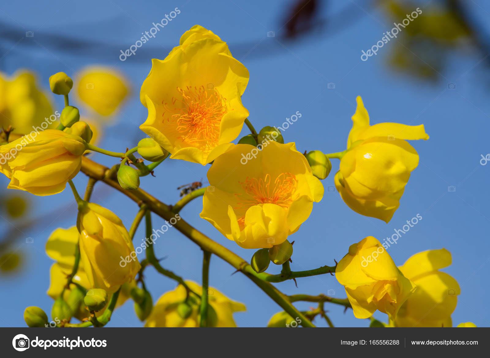 Yellow Silk Cotton Tree Flowers Adenium Tropical Flower Stock