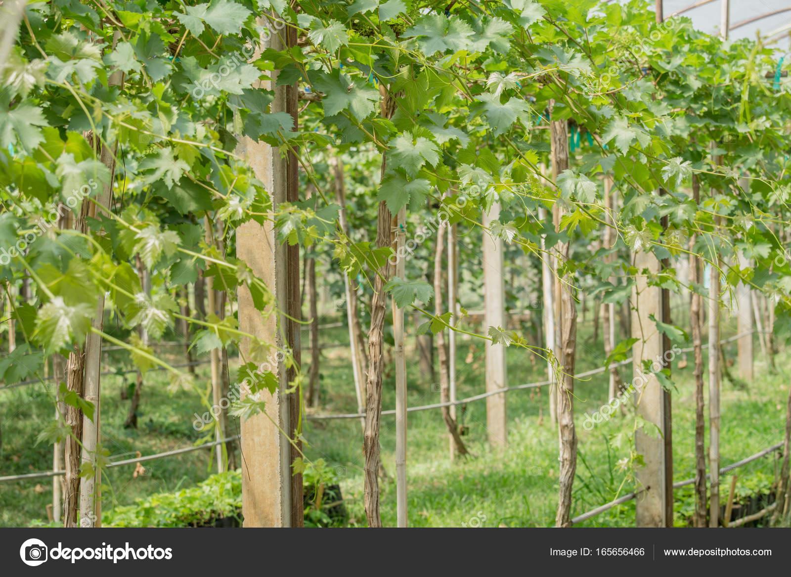 wein im garten, wein von trauben in landwirtschaftlichen garten — stockfoto © lamyai, Design ideen