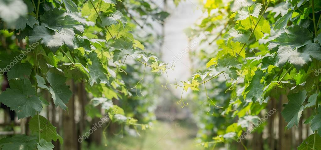 vine of grapes in agricultural garden