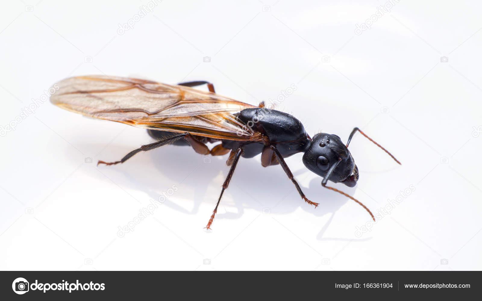 Häufig Fliegende Ameisen isoliert auf weißem Hintergrund. Geflügelte NR69