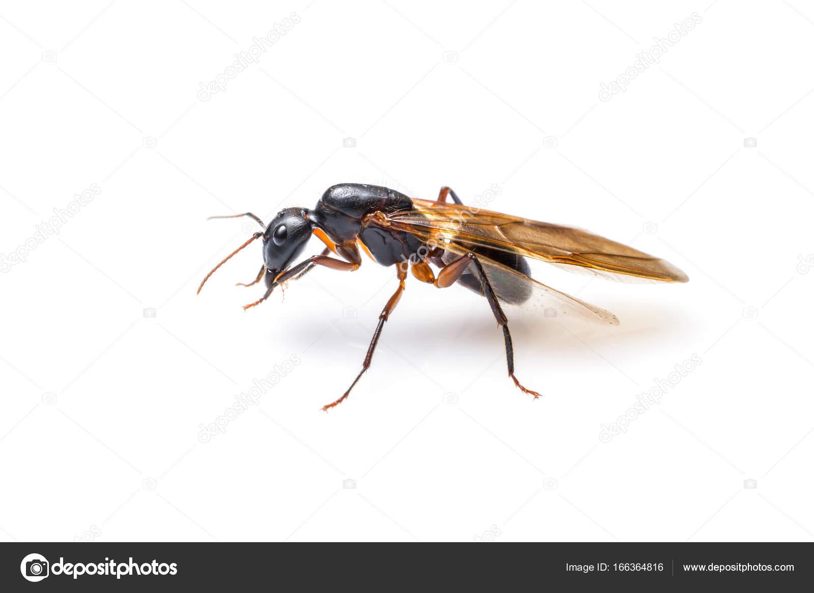 Beliebt Fliegende Ameisen isoliert auf weißem Hintergrund. Geflügelte BR84