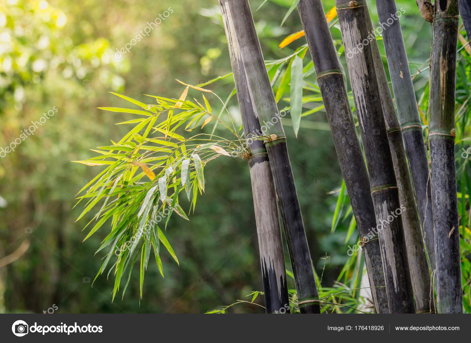 Büschel Schwarzer Bambus Ist Arten Die Selten Sind Grüner Bambus