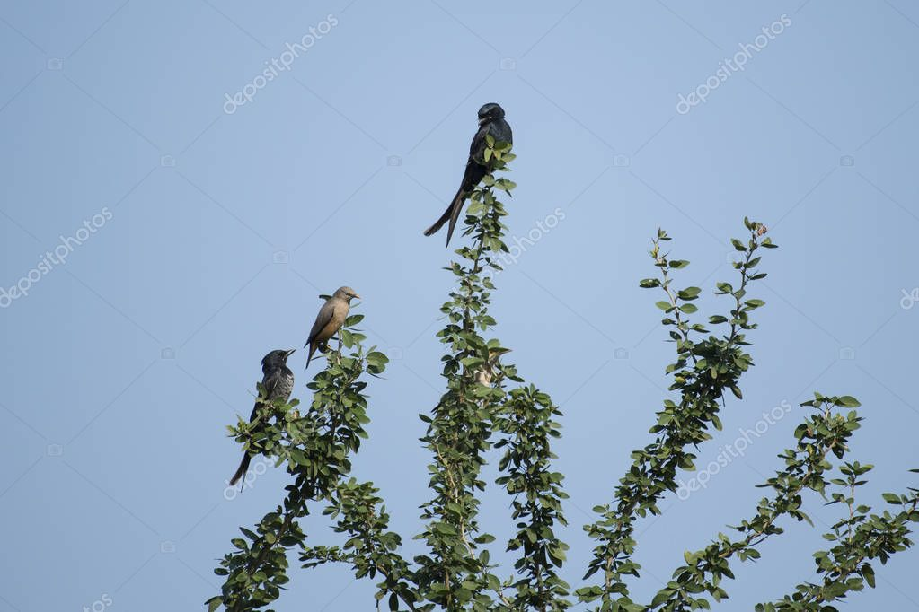 Pair of  Black Drongo and a Brahminy Myna Sitting on Top of The Tree