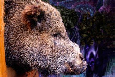 2017-02-25 wild boar