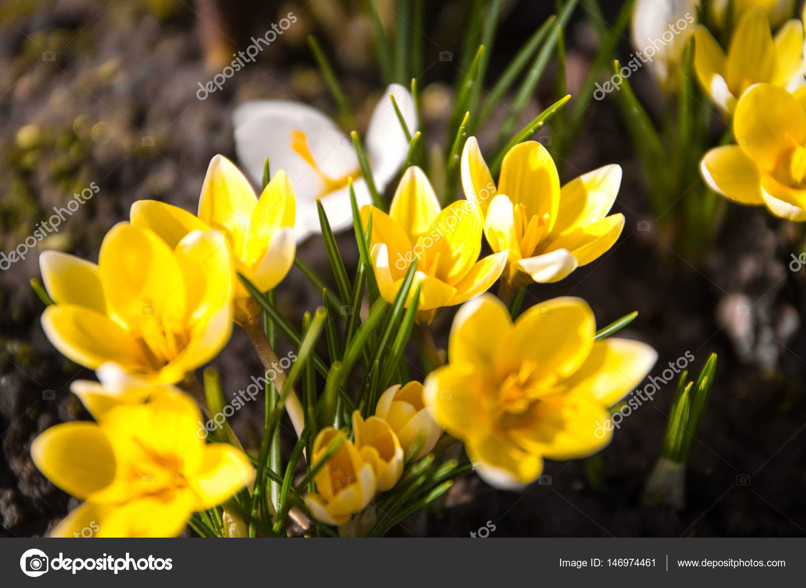 Crocus Flower On The Garden Early Spring Beautiful Flower Sunny