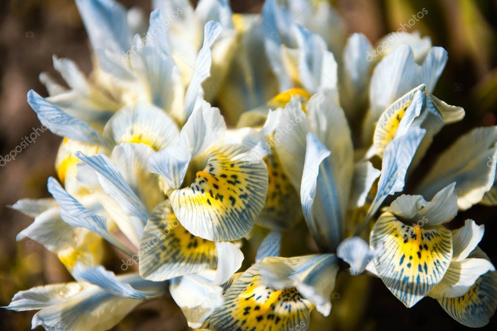 Irises flower on the garden, early spring, beautiful flower, sunny day, blue with yellow violet color iris flower.