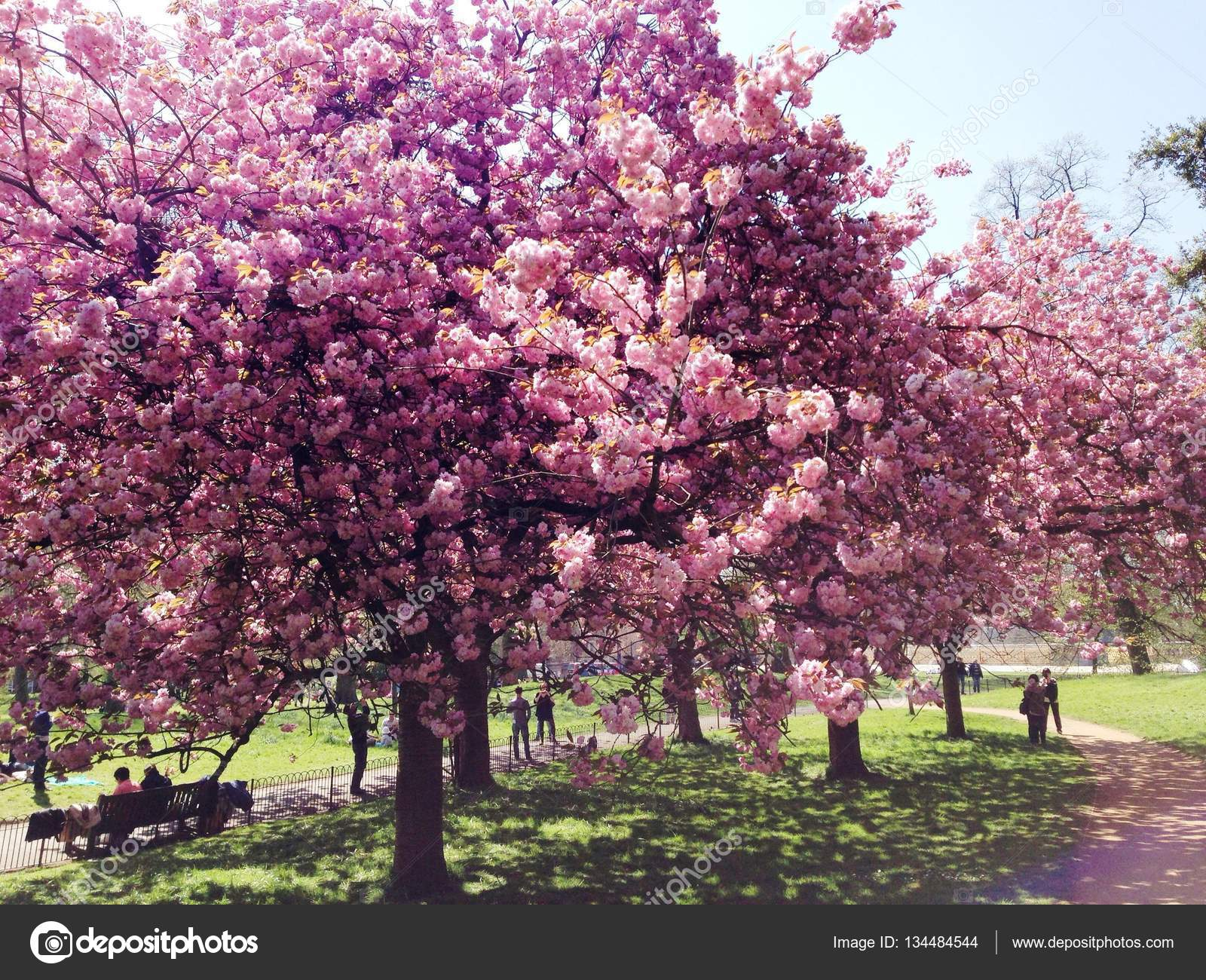 Pink Blossom Trees In Hyde Park Stock Photo 2301401clashot
